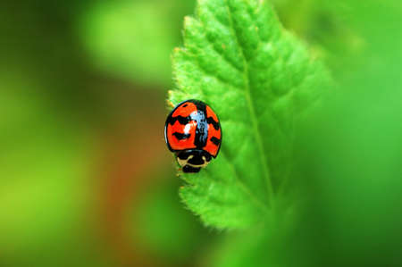 A Small ladybird resting on a leaf