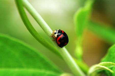 Small ladybird with major color black walking on a branch Stock Photo - 647193