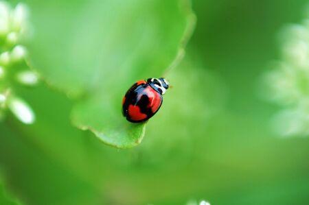 A ladybird walking around a plant leaf Stock Photo - 647120