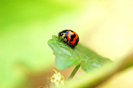 A ladybird staying on a leaf Stock Photo - 647121
