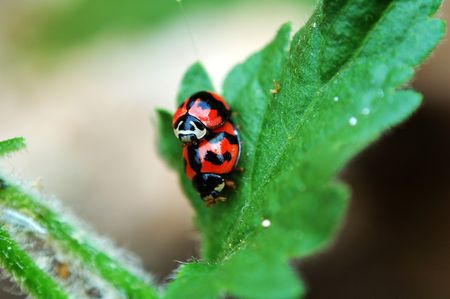 A scene of mating ladybirds on leaf Stock Photo - 666277
