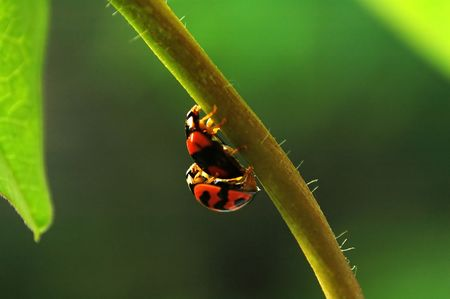 Ladybirds mating and walking along stem of plant Stock Photo - 666275