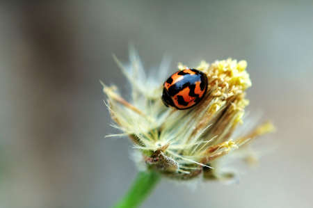 A ladybird on top of a flower Stock Photo - 666276