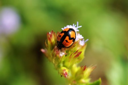 A cute ladybird on flow facing downward Stock Photo - 666274