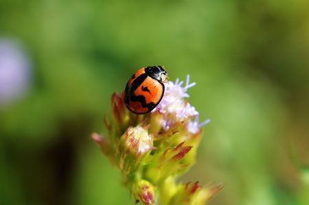 Ladybird standing on top of flower - eupatorium catarium Stock Photo - 666272