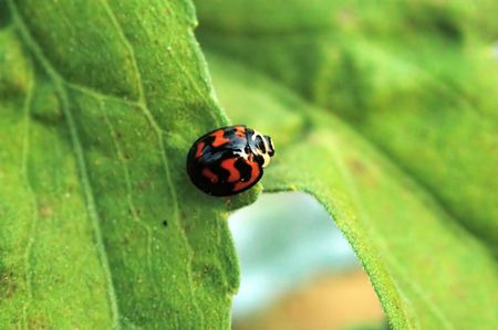Ladybird acrossing from one leaf to another Stock Photo - 666273