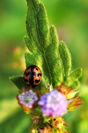 A ladybird resting on leaf of eupatorium catarium Stock Photo - 666271
