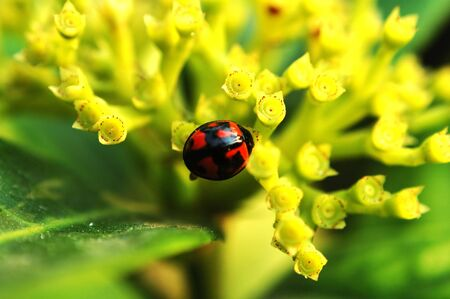 Ladybird with yellow flower Stock Photo - 666269