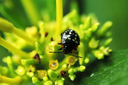A black ladybird on top of small yellow flower Stock Photo - 666270
