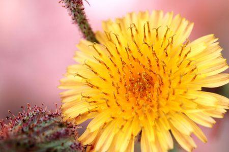 compositae: A yellow compositae flower