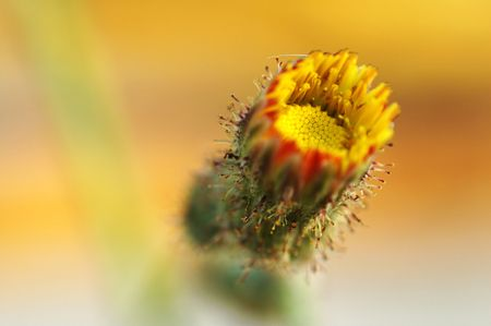 compositae: A blooming of yellow compositae flower