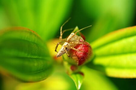 A lynx spider standing on a (flower) bud photo