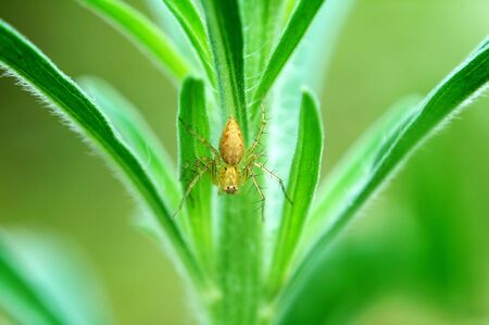 A lynx spider staying on a plant photo