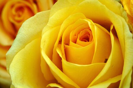 Close up of yellow rose with yellow background Stock Photo