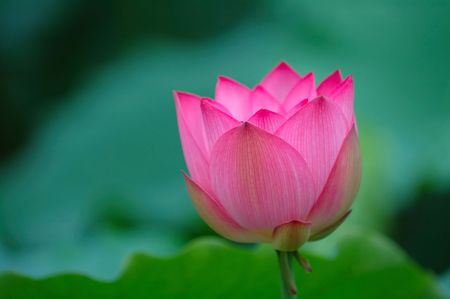 A blooming lotus flower with sharp pink color