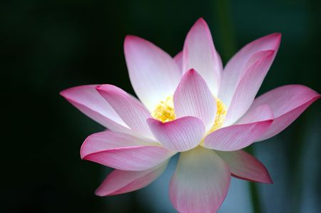 A blooming lotus flower of pink color over dark background photo