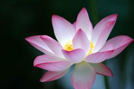 flor de loto: Una flor de loto que florece de color rosa sobre fondo oscuro