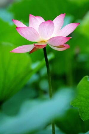 A single lotus flower between the greed lotus pads Stock Photo