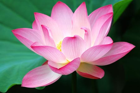 A blooming lotus flower beside green leaf Stock Photo - 851967