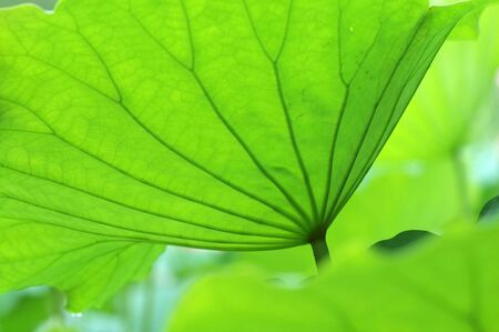 The texture of lotus leaves under sunshine Stock Photo