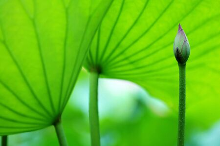 The lotus blossom and the lotus pads (leaves) photo