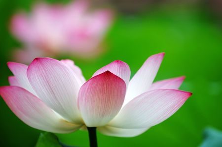 nelumbo nucifera: A shot of blooming lotus flower showing its purity