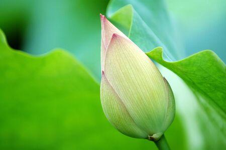 nelumbo nucifera: The lotus blossom and the lotus pads (leaves) Stock Photo