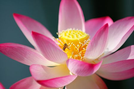 A blooming lotus flower and a bee photo