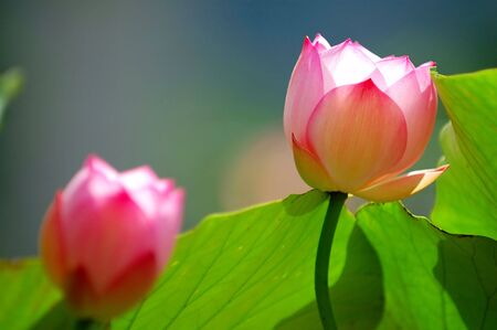 calyxes: Two blooming lotus flowers under the sunlight