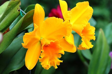 orchideae: Close up of pair of yellow orchid flowers