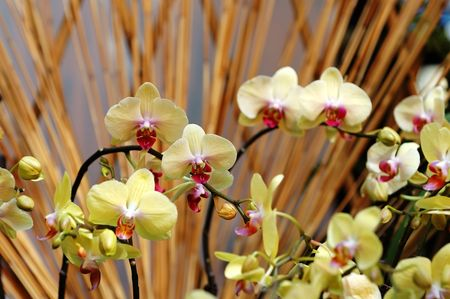 orchideae: The yellow orchid flowers over bamboo sticks Stock Photo