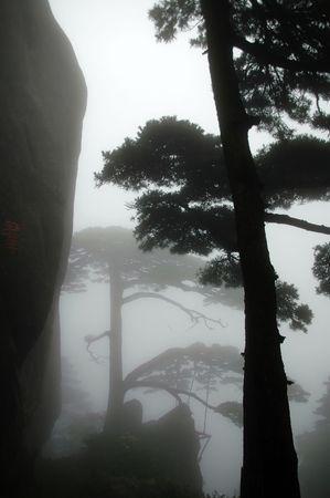 The close shot of pine tree in mountain, huangshan, China