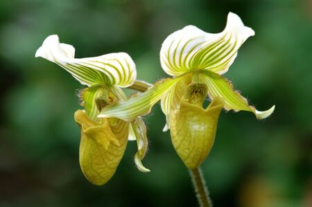 orchideae: The orchis of spring, green lady slipper