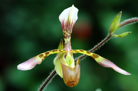calyxes: The orchis of spring, green lady slipper