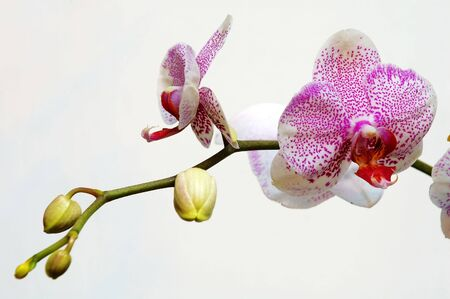 orchideae: The pink spot orchid over white background