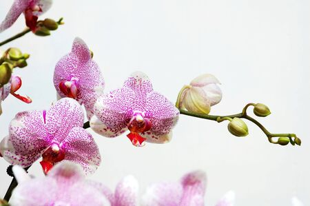 The pink spot orchid over white background photo