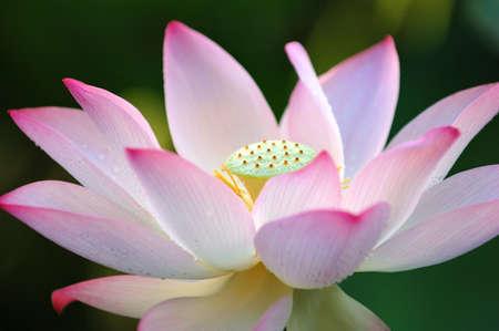 exotic flower: A blooming lotus flower over dark background