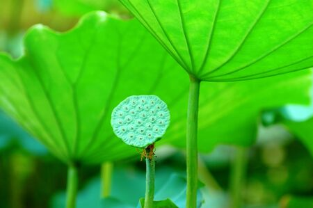The lotus seed head and the green pads (leaves)