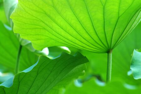 exotic flower: The texture of lotus leaves under sunshine viewing from bottom
