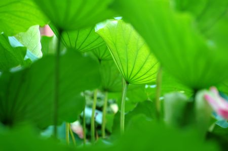 The texture of lotus leaves under sunshine viewing from bottom Stock Photo - 1067215