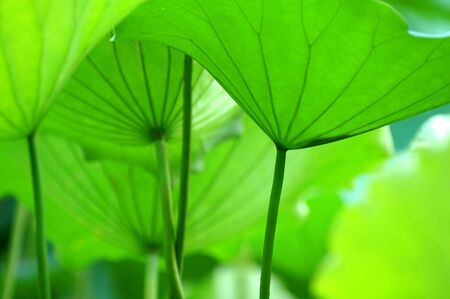 calyxes: The texture of lotus leaves under sunshine viewing from bottom