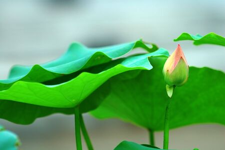calyxes: The small lotus bud and green leaves