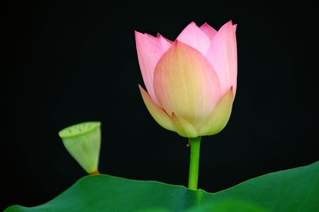 calyxes: The lotus flower and bud over black background