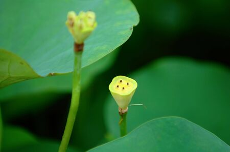 calyxes: The view of lotus seed heads over green Stock Photo