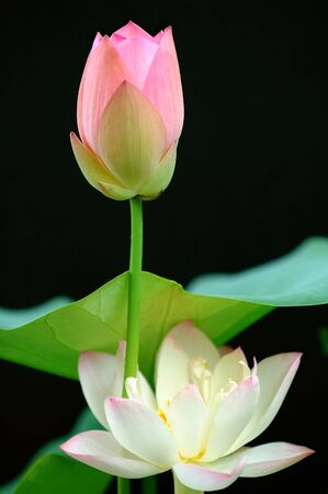 calyxes: The blooming lotus flowers isolated over black Stock Photo