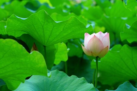 calyxes: A lotus flower with color of light pink Stock Photo