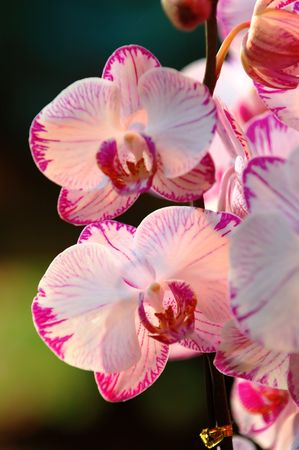 A close up shot of white orchid photo