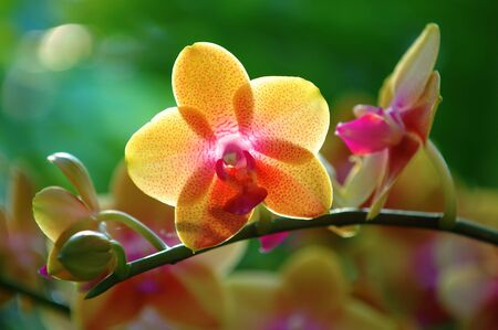 calyxes: A close up shot of yellow orchid