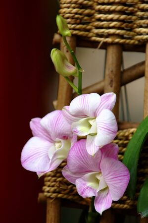 orchideae: A close up shot of white orchid