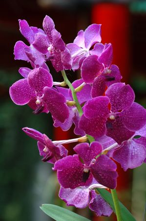 orchideae: A close up shot of pink orchid Stock Photo
